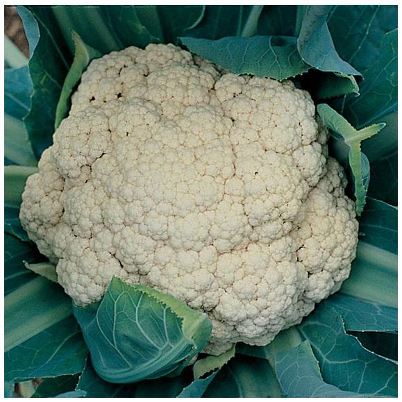 Cauliflower - Early snowball