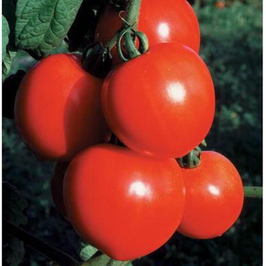 Tomate_new_girl