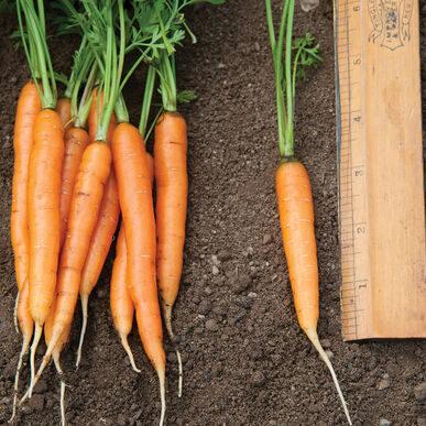 Carrot_adelaide