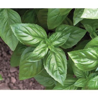 Herbes - Genovese Basil