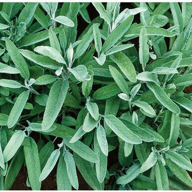 Herbs_common_sage