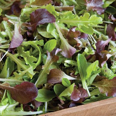 Lettuce__encoreharvesthorz