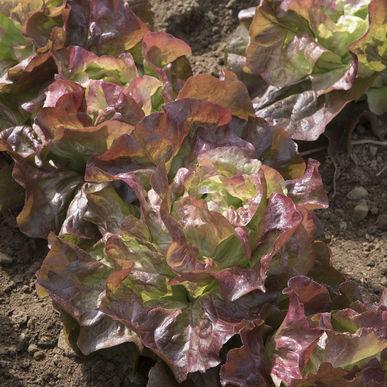Lettuce_redcross