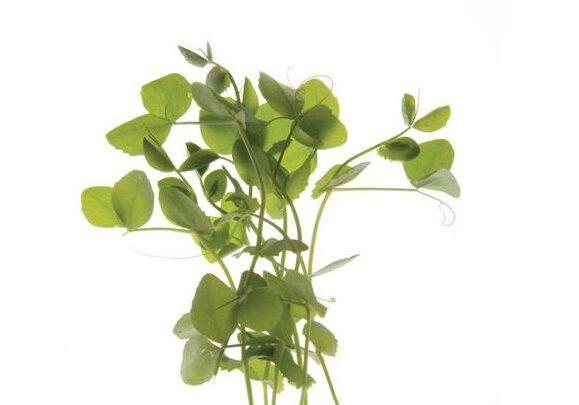 Microgreen - Dwarf Grey Sugar Pea